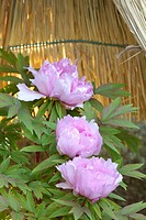 Peony (thumbnail)