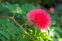 Calliandra haematocephala