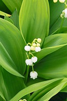 Lily of the valley (thumbnail)