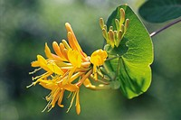 Lonicera heckrottii