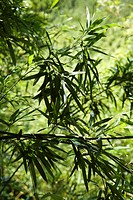 Bamboo leaves against green background in Maui, Hawaii, USA