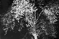B&W, black and white, tree, plant, branches, leaves
