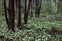 Trilliums blossoming on forest floor in spring, Ottawa, Ontario, Canada