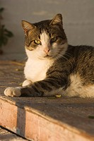 Cat, Domestic Animals, Feline, Looking At Camera, Lying