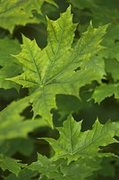 Close_Up, Green, Leaf, Leaf Vein, Leaves