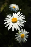 Blossom, Close_Up, Daisy, Flower, Flower Head