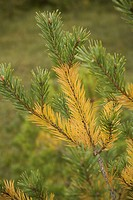 Close_Up, Coniferous Tree, Evergreen Tree, Green, Leaves