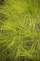 Branch, Coniferous Tree, Day, Evergreen Tree