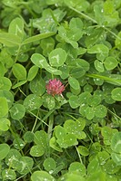 Close_Up, Clover, Day, Dense, Drop