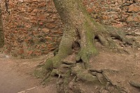 Intricate, embedded, spreading, anchoring, roots, woven (thumbnail)
