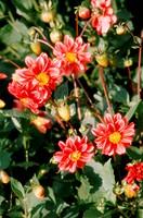 flowers, garden, plants, nature, botany, flora, red
