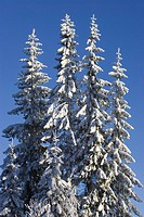 Blue, Clear Sky, Close_Up, Coniferous Tree, Covering