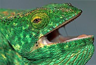 chameleon, Madagascar, reptile, rainforest, threatens, more open, mouth