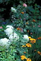 Wiesen, abloom, aurantiacum, Bernhard, bloom, blooms (thumbnail)