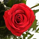 Close-up of red rose against white background (thumbnail)