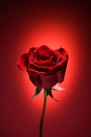 Single long_stemmed red rose against glowing red background.