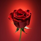 Single long_stemmed red rose against glowing red background