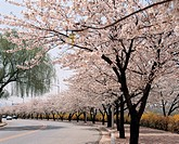 road, landscape, tree, cherryblossom, spring, natural world, nature