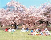 spring, landscape, cherryblossom, tree, plant, people, nature