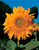 Flowers, plant, plants, sunflower, flower, bloom, nature (thumbnail)