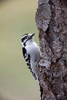 Downy Woodpecker (Picoides pubescens). New York, USA