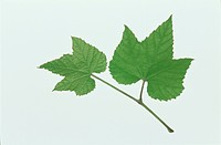 Leaf (thumbnail)