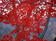 Red Maple Leaves On Branch (thumbnail)