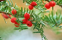 Red Berries (thumbnail)