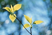 Giant Dogwood Leaves (thumbnail)