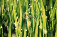 Dragonfly In Rain