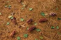 Leaves, Fir Cones, And Needles