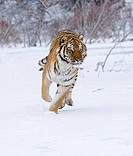 Siberian tiger Panthera tigris altaica running in a snow covered field