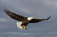 Bald eagle Haliaeetus leucocephalus flying in the sky