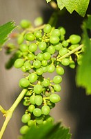 Green Grapes Growing on a Garden Vine June 2008 Maryland, USA