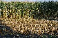 Field with harvest ready fodder corn with stubble in foreground  Schleswig-Holstein  Germany