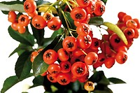 Fire thorn Pyracantha, close_up