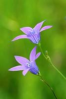 Dead Men´s Bell Flower