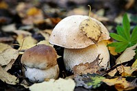 Two Ceps ( White Boletus or Boletus Edulis) wild edible mushrooms in a forest