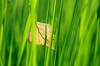 A green grass and a dry leaf