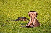 Africa, Sambia, Hippopotamus Hippopotamus amphibius