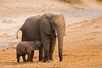 Africa, Botswana, African Elephant Loxodonta africana calf suckling