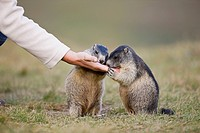 Austria, Person feeding Alpine Marmots Marmota marmota