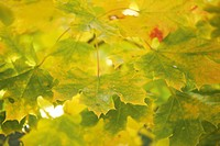 Germany, Bavaria, Norway Maple Acer platanoides L., close up