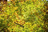 Germany, Bavaria, Beech tree Fagus sylvatica, close up