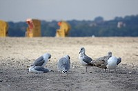 Germany, Baltic Sea, Seagulls on beach, Beach chairs in background