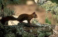 Eurasian red squirrel, Sciurus vulgaris, Europe, F