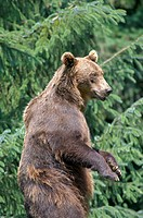 Brown Bear, Ursus arctos, animal, animals, nature