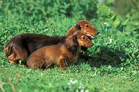 Dog, Dachshund, Teckel, breed, outside, outdoors