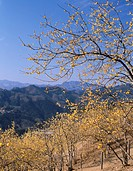 Wintersweet, flower, Chichibu mountain range, Nagatoro, Saitama, Kanto, Japan
