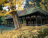 Kumano Shrine, temple company, length floor, Salisburia adianthifolia, Kitakata, Fukushima, Tohoku, Japan, November